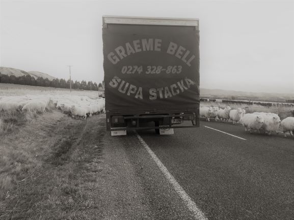 Furniture truck surrounded on three sides by sheep on the road
